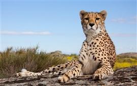 Preview wallpaper Cheetah, feline, pose, look