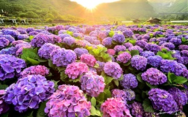 Preview wallpaper Colorful hydrangea flowers, field, morning