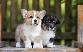 Corgi, two puppies