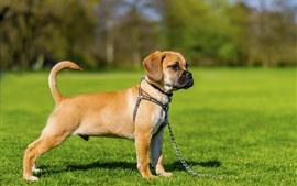 Cute puppy, dog, pet, grass