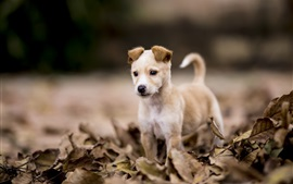Cute puppy, dry leaves