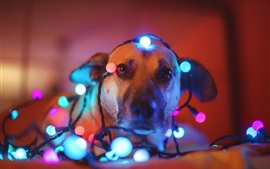 Preview wallpaper Dog, colorful holiday lights