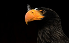Eagle, beak, black background