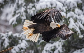 Preview wallpaper Eagle flight, wings, winter