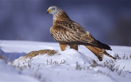 Preview wallpaper Eagle, snow, winter