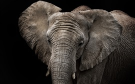 Preview wallpaper Elephant, black background