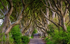 Preview wallpaper England, Northern Ireland, Dark Hedges, beech, alley, trees