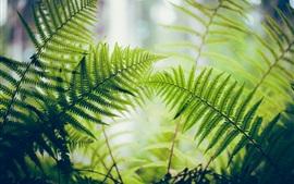 Samambaia, folhas verdes, luz de fundo