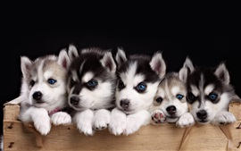 Five husky puppies, blue eyes dog