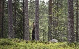 Bosque, oso detrás del árbol