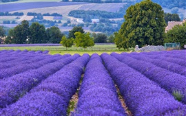 預覽桌布 法國,普羅旺斯,薰衣草花場