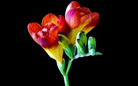 Freesia, orchid, beautiful flowers, black background
