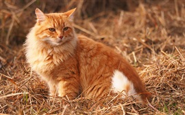 Furry orange cat, look back