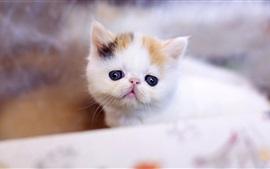 Gatito blanco peludo, borroso