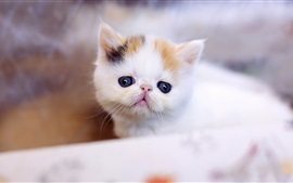 Preview wallpaper Furry white kitten, blurry