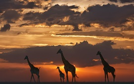 Preview wallpaper Giraffes, night, grass, sunset