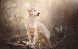 Golden Retriever, dog, look back