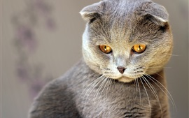 Preview wallpaper Gray kitten look, yellow eyes
