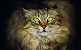 Gato de ojos verdes, peludo