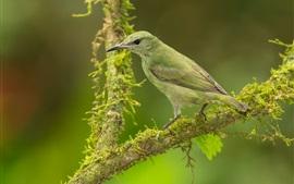 Aperçu fond d'écran Oiseau de plume verte, mousse, arbre