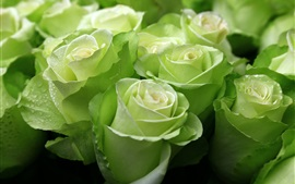 Green roses, water droplets