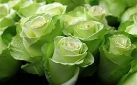 緑のバラ、水滴