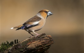 Hawfinch, bird, stump