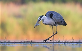 Preview wallpaper Heron catch a fish