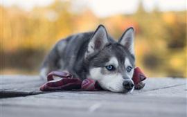 Aperçu fond d'écran reste husky, chien aux yeux bleus
