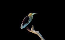 Preview wallpaper Indian yellow heron, black background