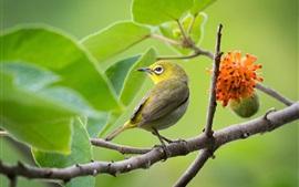 Pájaro japonés de ojos blancos, hojas