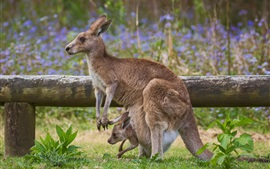Preview wallpaper Kangaroo mom and baby, fence