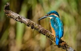 Martim-pescador, pássaro, galho de árvore, musgo