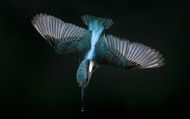 Kingfisher flight, wings, beak