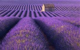 Lavender field, purple, house, summer