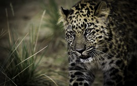 Preview wallpaper Leopard, spot, predator, grass