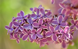 Preview wallpaper Lilac flowers macro photography, green background