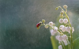 Lilies of the valley, ladybug, rain