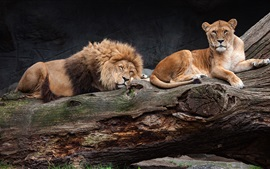 Preview wallpaper Lion and lionesses rest