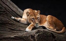 Preview wallpaper Lioness, tree, rest