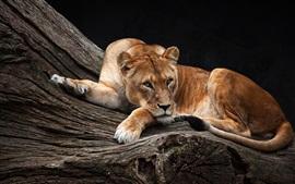 Leoa, árvore, descanso