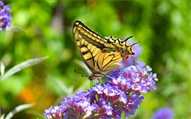 Pequeñas flores púrpuras, mariposa
