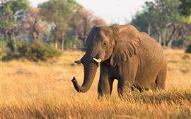 Éléphant solitaire, marcher sur l'herbe