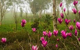 Magnólia, rosa flores desabrocham, floresta, primavera