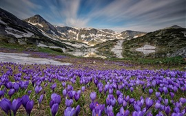 Preview wallpaper Many crocus blossom, lake, mountains, snow, spring