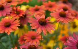 Preview wallpaper Many red echinacea flowers