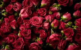 Preview wallpaper Many red roses, water droplets, fresh flowers
