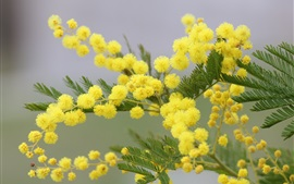Preview wallpaper Mimosa yellow flowers