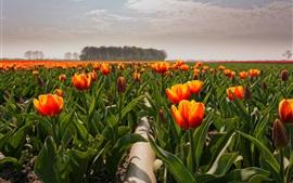 Tulipanes naranjas, campo