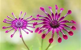 osteospermum, pétalos de color púrpura